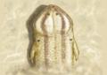 Megalophthalma.png