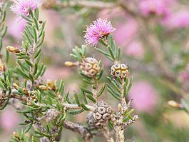 Melaleuca societatis (leaves, flowers, fruits).JPG