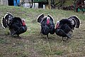 Meleagris gallopavo 01 by-dpc.jpg