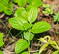 Melittis melissophyllum in Lozere (2).jpg