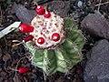 Melocactus caesius.jpg