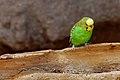 Melopsittacus undulatus -Rio Grande Zoo, New Mexico, USA-8a.jpg
