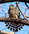 Merlin in Prospect Park (63363).jpg