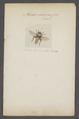 Merodon - Print - Iconographia Zoologica - Special Collections University of Amsterdam - UBAINV0274 039 02 0038.tif