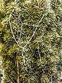 Met rijp en spinrag bedekte Taxus baccata 'Fastigiata Aurea'.jpg