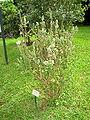 Metrosideros polymorpha in Lyon Arboretum.jpg