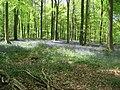 Micheldever Woods - Bluebells - geograph.org.uk - 1672108.jpg