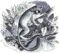 Microcebus myoxinus - Brehms.png