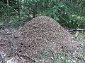 Mierenhoop in Nationaal Park Sallandse Heuvelrug (1).jpg