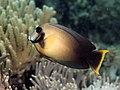 Mimic surgeonfish (Acanthurus pyroferus) (37331503305).jpg