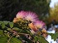 Mimose - panoramio.jpg