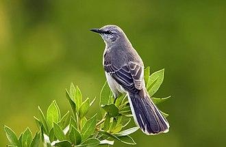 Mockingbird - Image: Mimus polyglottos 1