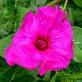 Mirablis. 'Five o'clock flower' - Flickr - gailhampshire.jpg