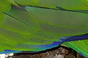 Moiré pattern - Image: Moire on parrot feathers