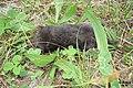 Mole (NH) (15719272917).jpg