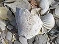 Mollusc shells on marine beach (Cayo Costa Island, Florida, USA) 15 (25572770664).jpg