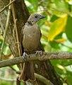 Molothrus bonariensis (Chamón parásito) - Hembra juvenil (14699730883).jpg