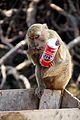 Monkey likes Fanta (8184720308).jpg