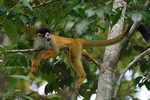 Mono ardilla centroamericano o mono tití chiricano - Squirrel Monkey from Panama.jpg
