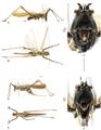 Monocerophora minax 0103758 g019.png