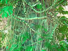 Image Result For Monstera Adansonii Aerial Roots
