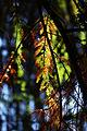 Montezuma Cypress (3386060174).jpg