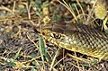 Montpellier Snake (Malpolon monspessulanus) male (35730479374).jpg