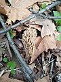 Morchella esculenta 68785814.jpg
