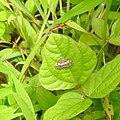 Moth Hawaiian Beet Webworm (Spoladea recurvalis) from Madayipara DSCN2229.jpg
