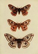 Moths of the British Isles Plate066.jpg