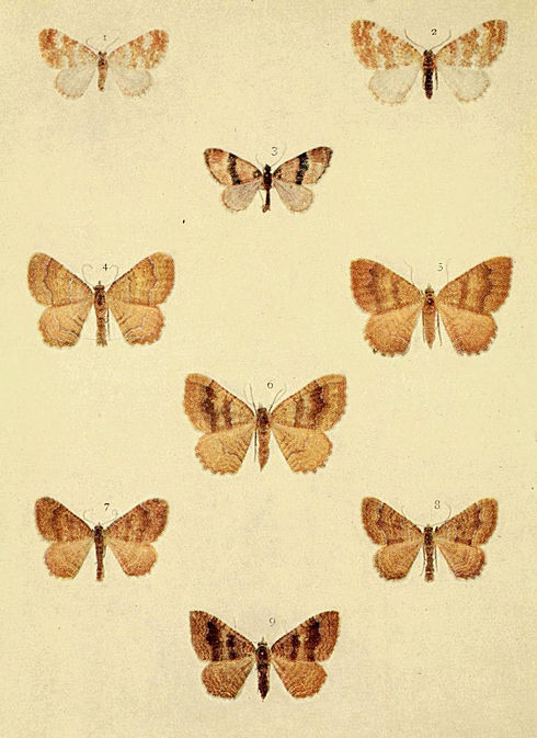 Moths of the British Isles Series2 Plate085.jpg