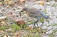 Mountain Bluebird on Seedskadee National Wildlife Refuge (27171923762).jpg