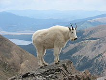 Mountain Goat On Mount Massive Colorado United States