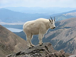Mountain Goat Mount Massive.JPG
