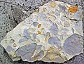 Mudchips in sandstone (Vinton Member, Logan Formation, Lower Mississippian; Mohawk Dam emergency spillway, western Coshocton County, Ohio, USA) 2 (26619062724).jpg