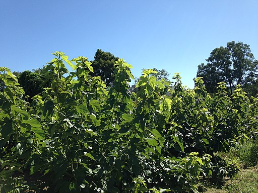 Mulberry garden in Hakozaki Campus, Kyushu University 2
