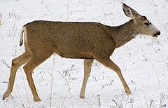 A Mule Deer in Colorado, USA.
