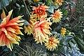 Multicolored dahlias.jpg