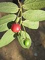 Muntingia calabura - Jamaica Cherry at Nedumpoil (11).jpg