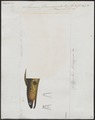 Muraena flavomarginata - 1700-1880 - Print - Iconographia Zoologica - Special Collections University of Amsterdam - UBA01 IZ15300122.tif