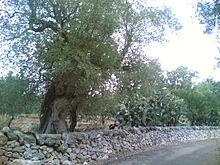 Muretti a secco e ulivi nel paesaggio agrario di San Vito dei Normanni