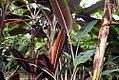 Musa paradisiaca var. sapientum Mocho 2zz.jpg