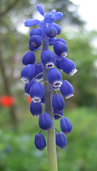 Файл: Мускари racemosum.jpg