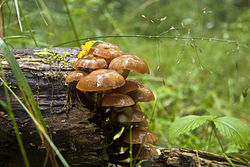 Mushrooms in Scania.jpg