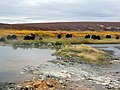 Muskox Autumn Colors.jpg