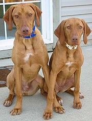Two Smooth-haired Vizslas