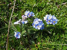 Forget-Me-Not 'Blue Ball' (Myosotis Alpestris ) Flower Plant Seeds ...