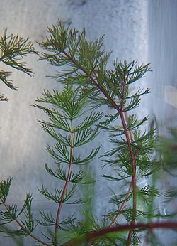 Myriophyllum quitense.JPG