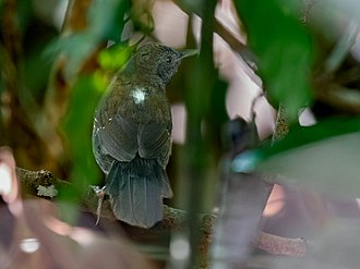 Black-throated antbird - A male at Manaus, Amazonas state, Brazil.