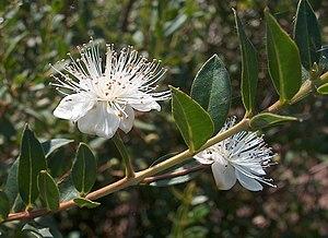 Gemeine Myrte (Myrtus communis)